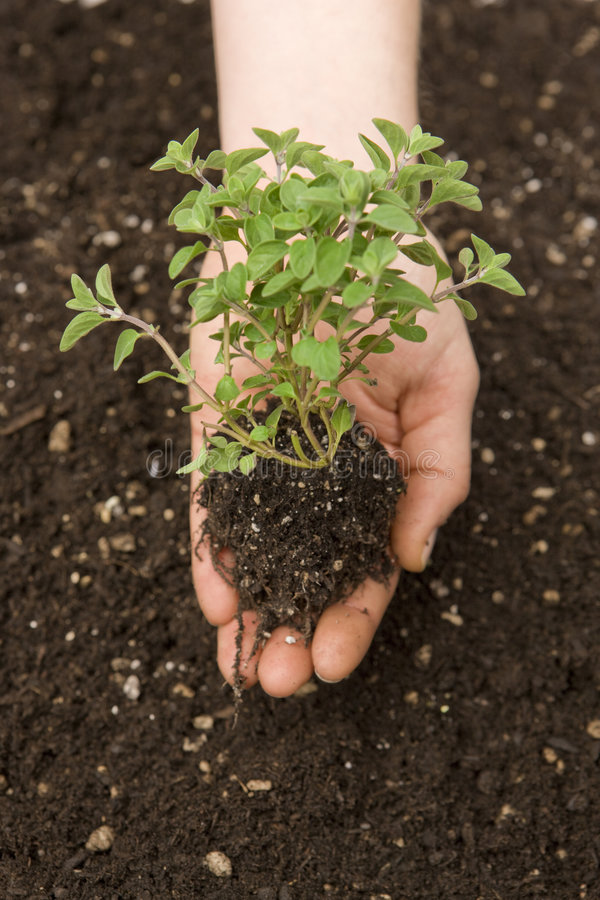 Hand holding small tree. Hand cupped holding small tree in palm and root over fresh soil royalty free stock images