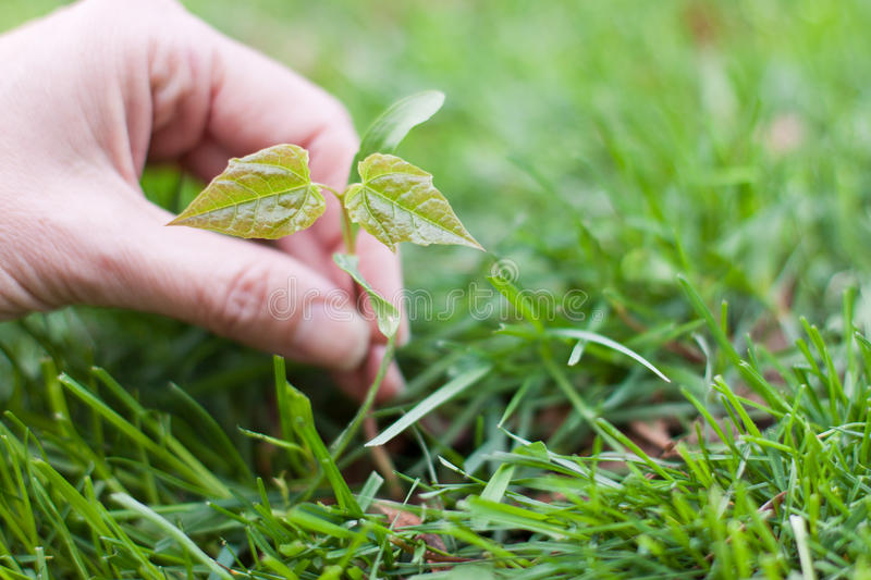 Hand holding a small tree over green. Female hands holding a small maple tree over a green grass background royalty free stock photography
