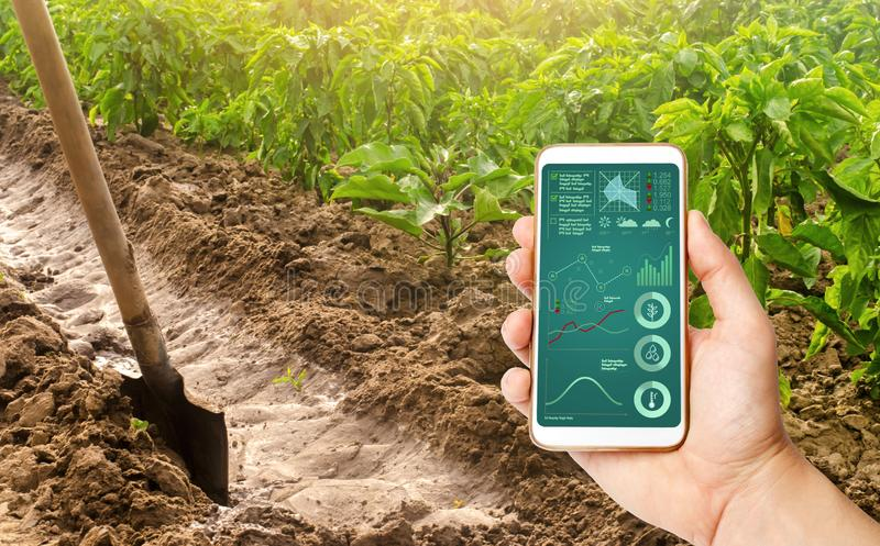 A hand is holding a smartphone with infographics on the background of a pepper plantation and irrigation channel. traditional royalty free stock images