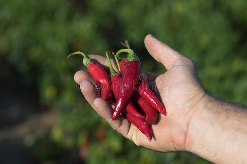 Hand holding some red chili peppers in a vegetable garden. royalty free stock photo