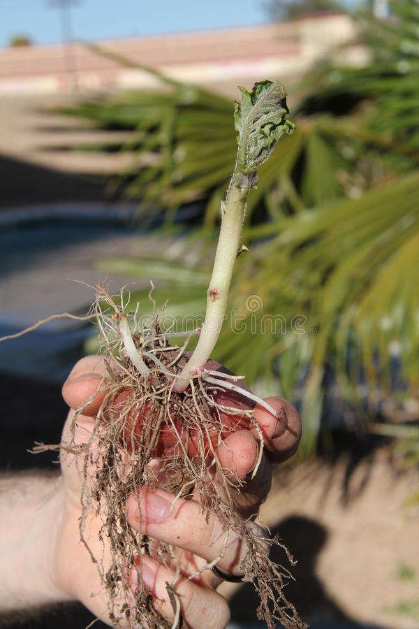 Download Hand Holding Sprouting Potato Stock Photo - Image: 19434304