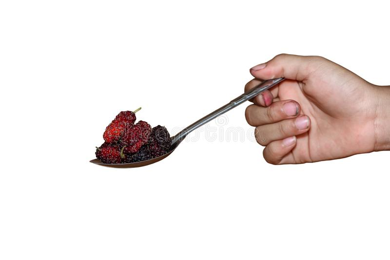Hand holding Stainless steel spoon and many pile of Mulberry friut in spoon islated. Hand holding Stainless steel spoon and many pile of Mulberry friut in spoon stock photo