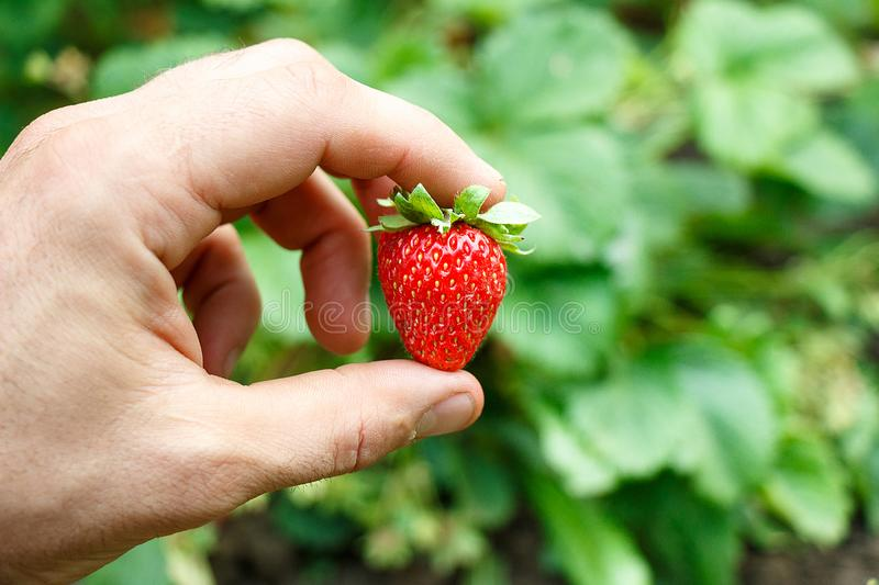 Hand holds a bright red ripe strawberry on a green background stock photography