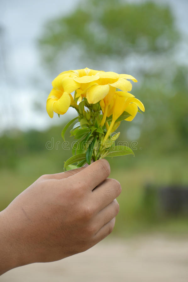 Hand Holding A Yellow Allamanda Flower Stock Photography