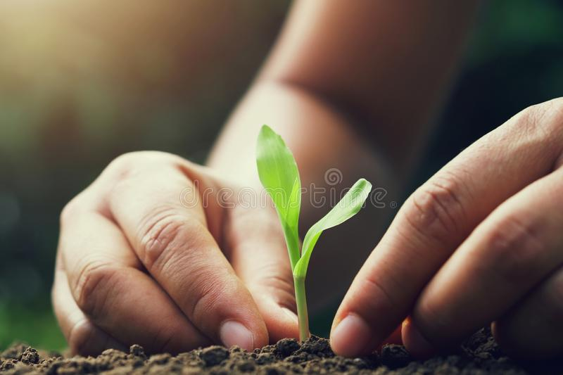 hand holding young corn for planting in garden stock photo