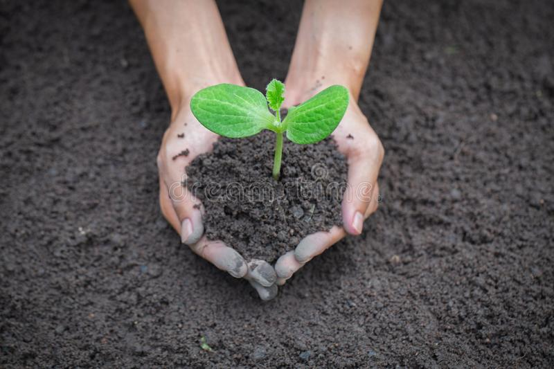 Hand holding young tree on soil background for planting in garden. Planting trees to reduce global warming, World Environment Day. Concept stock photography