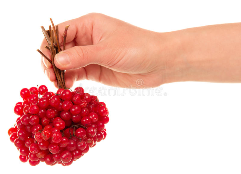 Download Hand Holds The Brush Viburnum Stock Image - Image: 39869061