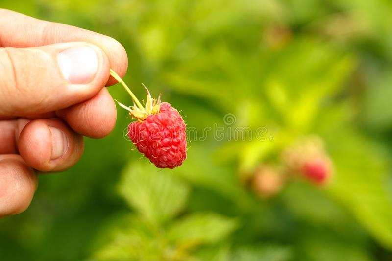 Hand holds ripe raspberry berry on the background of shrubs royalty free stock photo