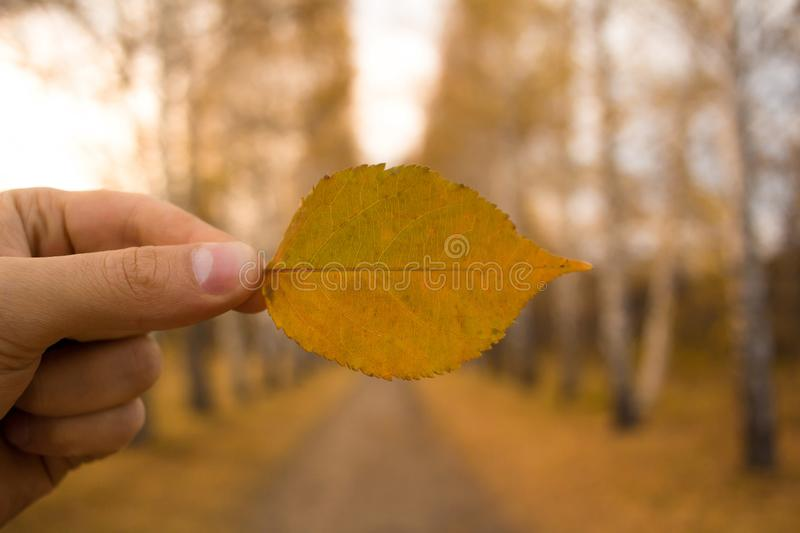 Hand holds yellow leaf on autumn alley trees background. Autumn season composition in forest. Hand holding yellow leaf on trees alley background. Autumn time royalty free stock images