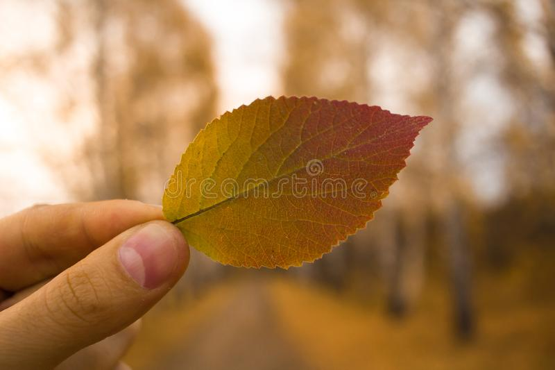 Hand holds yellow leaf on autumn alley trees background. Autumn season composition in forest. Hand holding yellow leaf on trees alley background. Autumn time royalty free stock photography