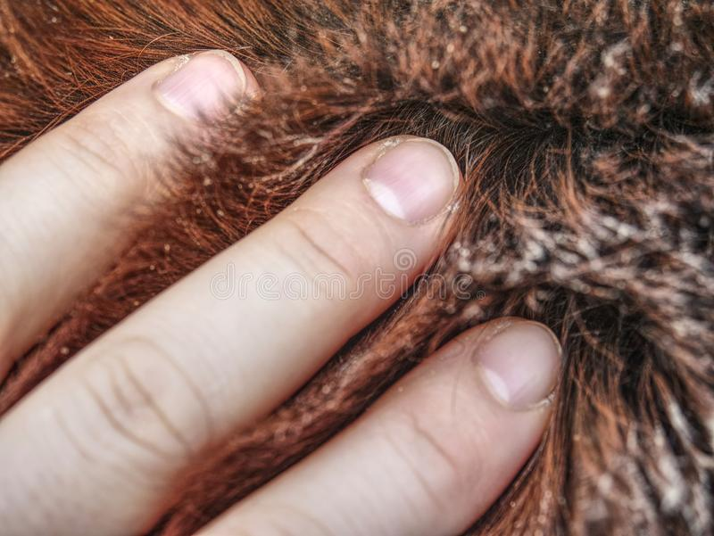 Hand in horse thick warm leather, winter fur. Hand in horse thick warm leather, warm winter fur on body of outside live horse wrist woolen white layer tissue stock photography