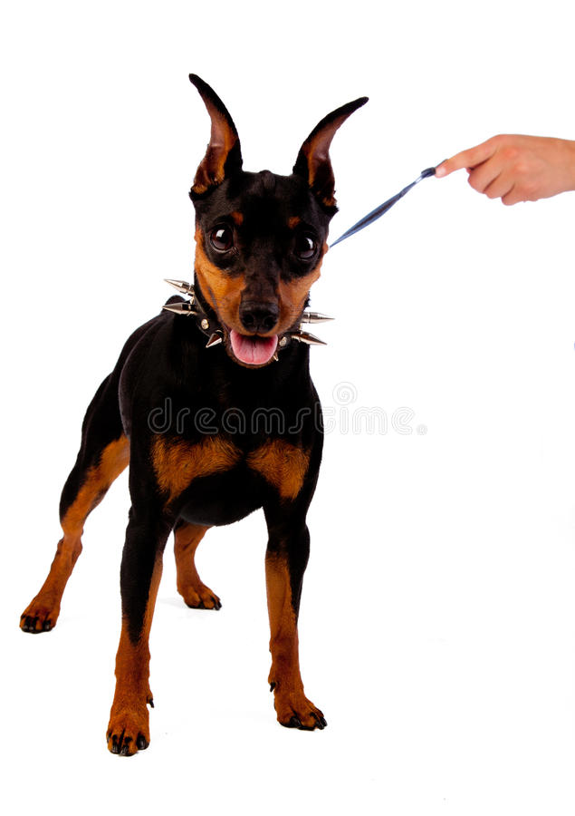 Free Hand Is Holding A Dog Stock Photos - 15484383