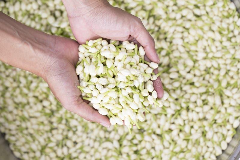 In hand jasmijnbloem royalty-vrije stock afbeelding
