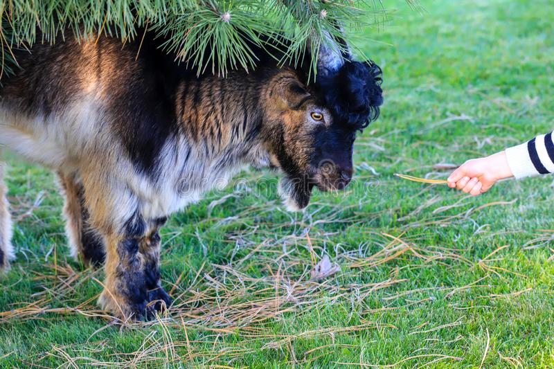 The hand of a kind child feeds a beautiful horned goat feeds on autumn lawn on a farm in the fall. Kindness and care for stock image
