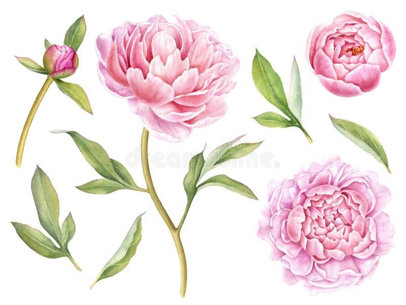 Hand målad blom- beståndsdelsamling Botanisk illustration för vattenfärg av pionen, knoppar och sidor vektor illustrationer