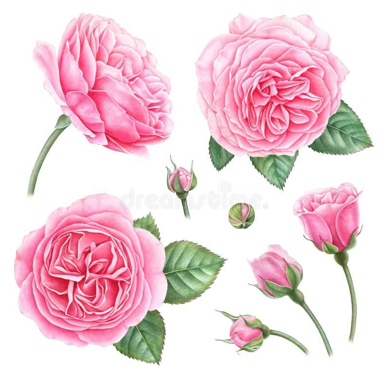 Hand målad botanisk illustration av rosa rosor, knoppar och sidor Uppsättning av vattenfärg detalized designbeståndsdelar royaltyfri illustrationer