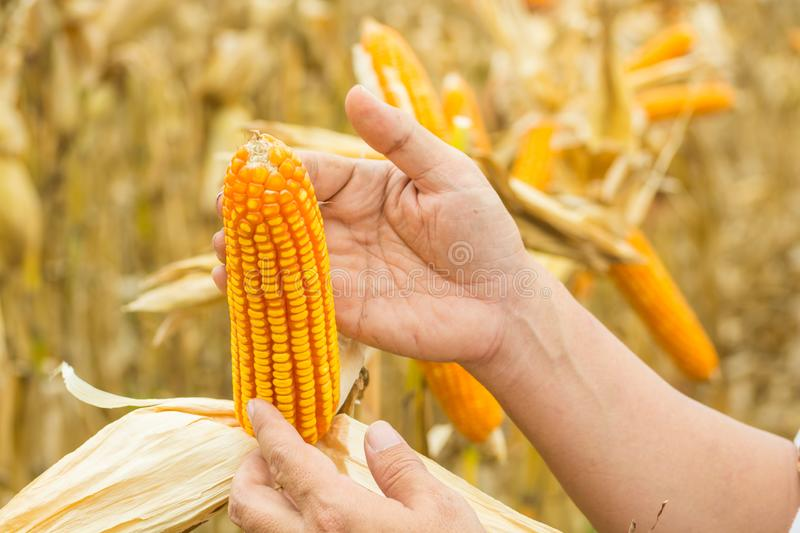 Hand or Male or Man Farmer holding or Harvesting Corn Cob on plant royalty free stock photos