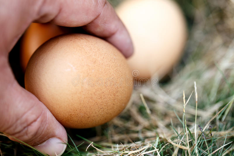 Hand of man and chicken egg in nest stock image