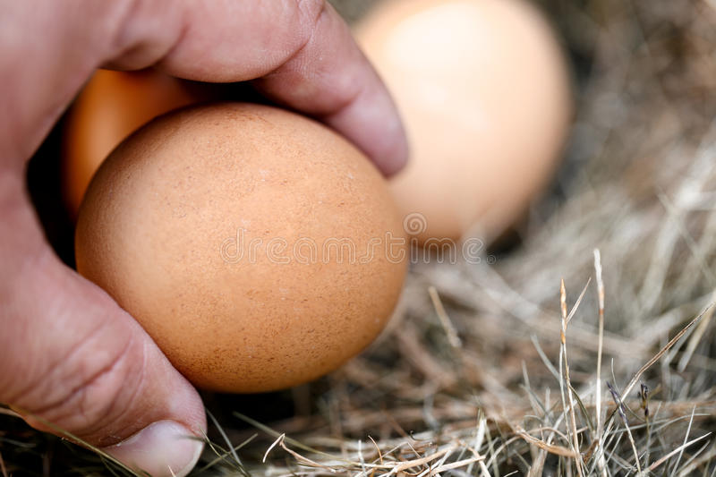 Hand of man and chicken egg in nest royalty free stock photo