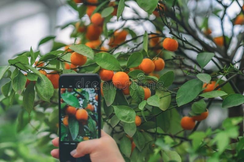 Hand med en smartphone som fotograferar en ljus orange mandarinfrukt på citrusträdfilial arkivfoton