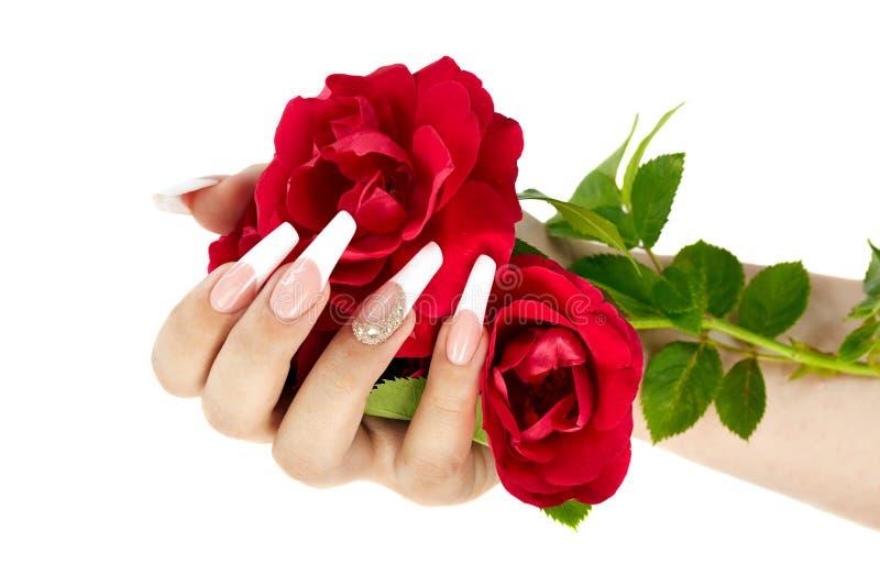 Hand med fransk manikyr som rymmer en röd rosblomma royaltyfri foto
