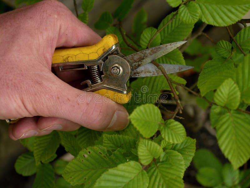 Hand med spetsiga klor som klipper bonsaibokträdträdet royaltyfria foton