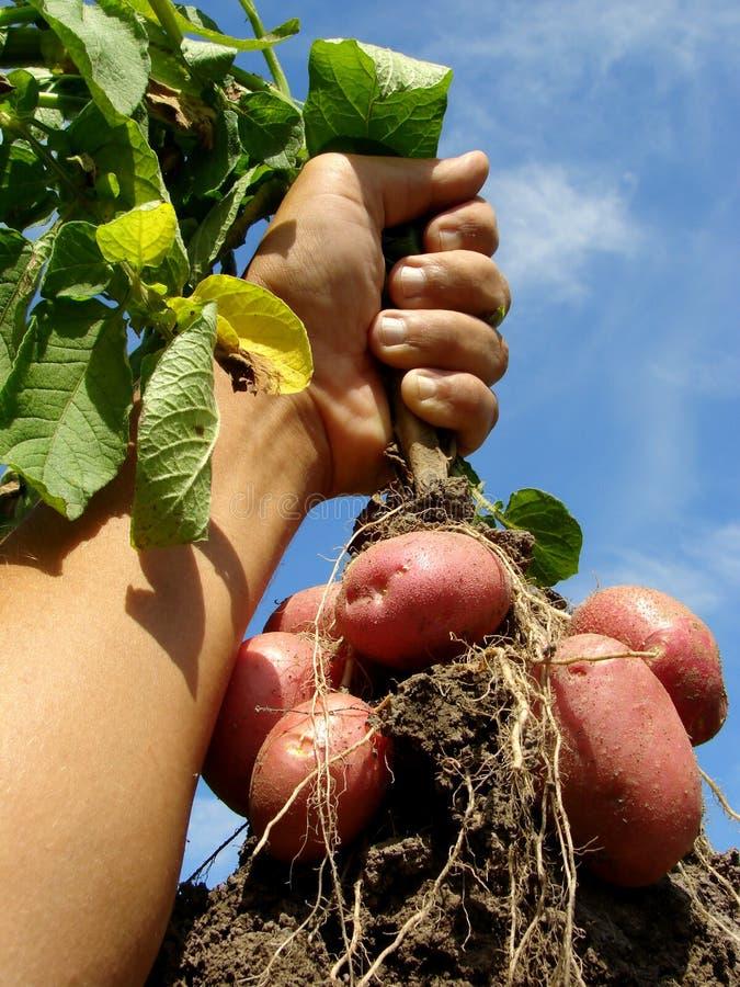 Hand met aardappelplant stock afbeeldingen