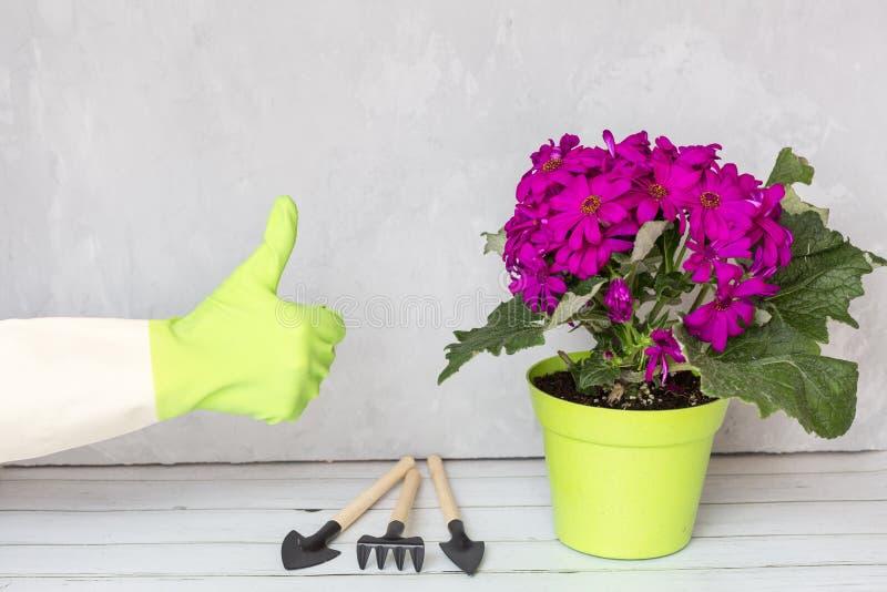 Hand met handschoenen die duim tonen Volgende bevindende het bloeien bloem purpere kleur in groene pot en tuininstrumenten stock foto