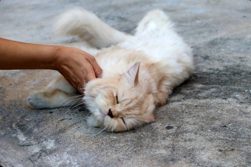 Hand mit der persischen Katze in der braunen Farbe niederlegend auf dem Boden stockfotografie