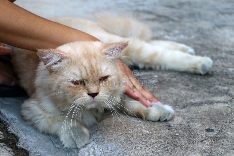 Hand mit der persischen Katze in der braunen Farbe niederlegend auf dem Boden lizenzfreie stockfotografie
