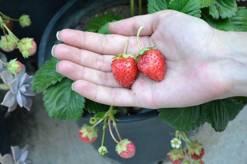 Hand mit Erdbeeren lizenzfreies stockfoto