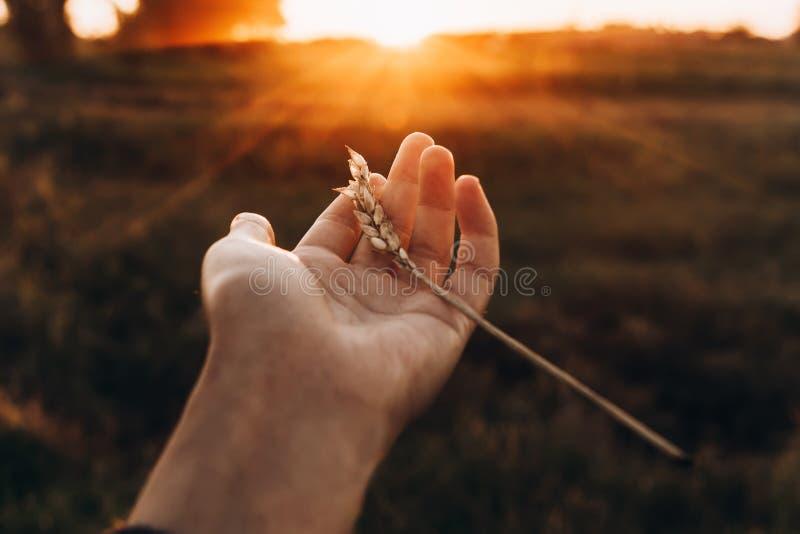Hand mit Ohrweizen im Sonnenuntergang strahlt auf dem Sommerabendgebiet aus Bauernhof stockfotografie