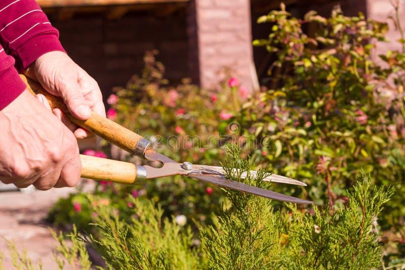 Hand mit Schere schneidet einen Ast, Landschaftsgestalter bereitet sich auf Herbstherbst im Garten vor lizenzfreie stockbilder