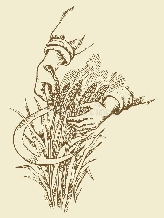 Hand mowing sickle wheat. Vector drawing stock illustration