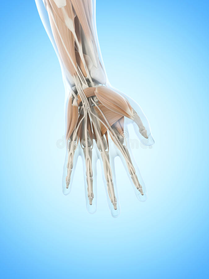 the hand muscles vector illustration