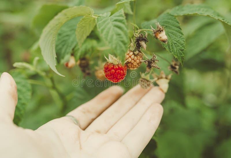 Hand och hallon på en buske Closeup av hallonrottingen royaltyfria foton