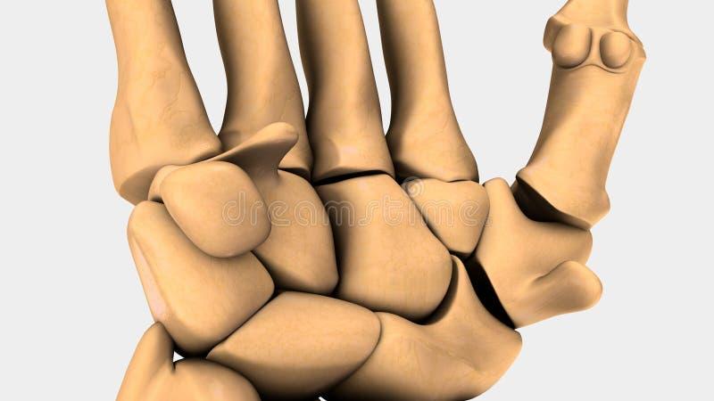 Hand- och handledben av människan royaltyfri illustrationer