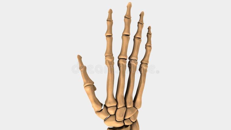 Hand- och handledben av människan vektor illustrationer