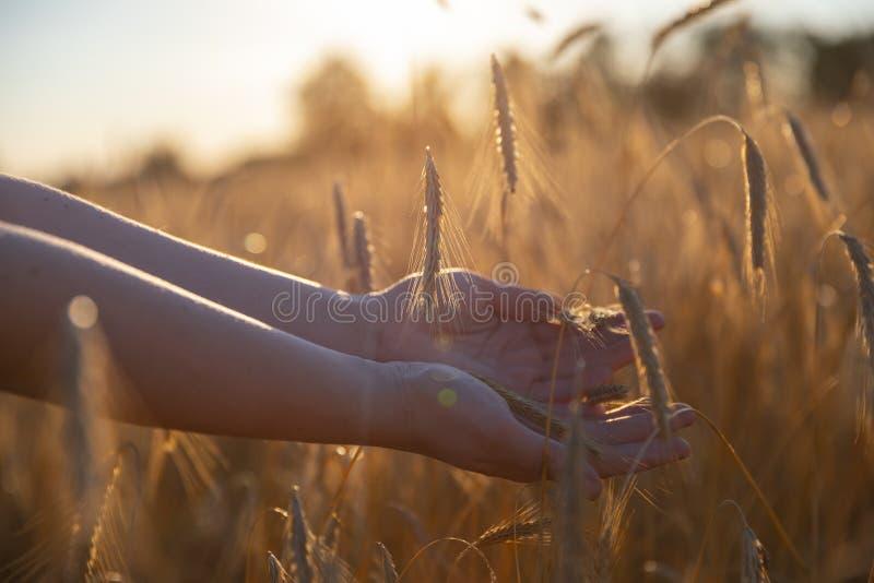 Hand på ett vetefält arkivfoton