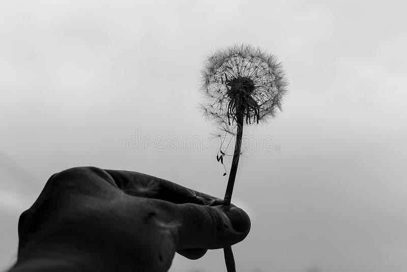 In hand paardebloem, zwart-witte foto royalty-vrije stock foto