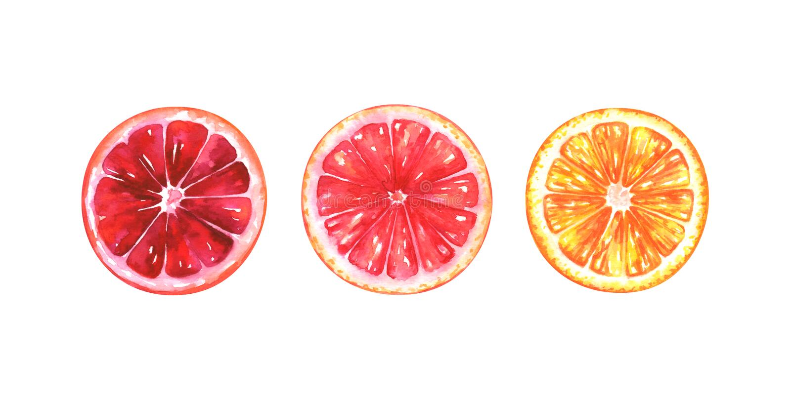 Hand painted watercolor illustration of slices of different oranges. Isolated on white background vector illustration