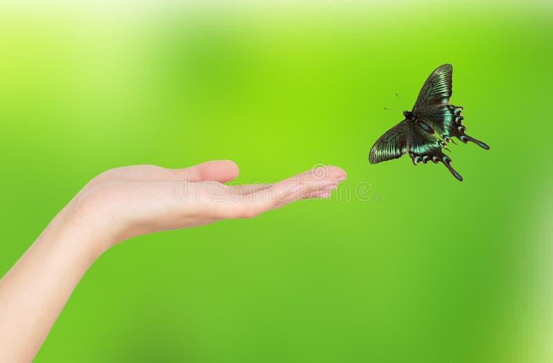 Download Hand Papilio paris stock photo. Image of papilio, isolated - 29021378