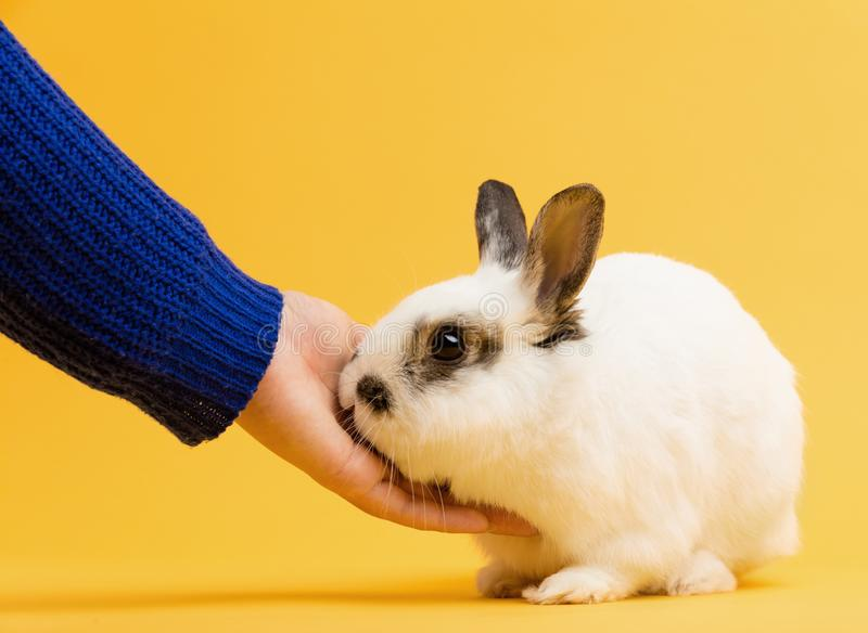 Hand petting white rabbit on yellow background royalty free stock images