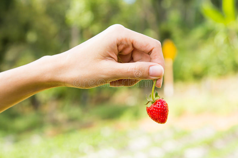 Hand pick up strawberry. Hand pick up strawberry with beautiful green background royalty free stock image