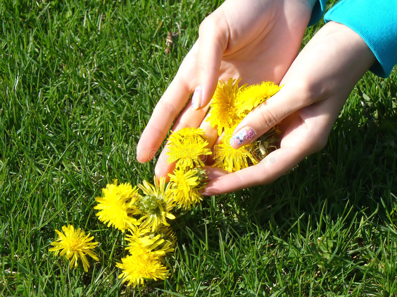 Hand picked dandelion blossoms stock images