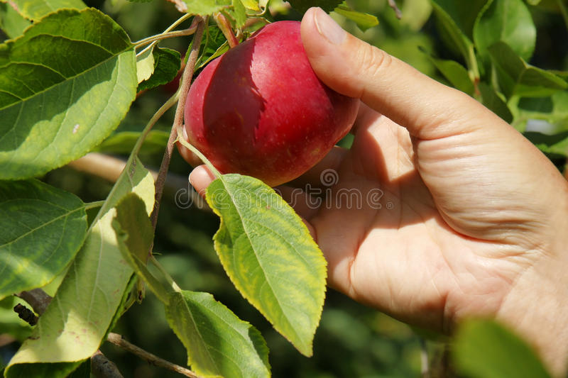 Hand picking apple in a tree. Detail on hand picking up a yummy red apple directly on the tree during late summer royalty free stock image