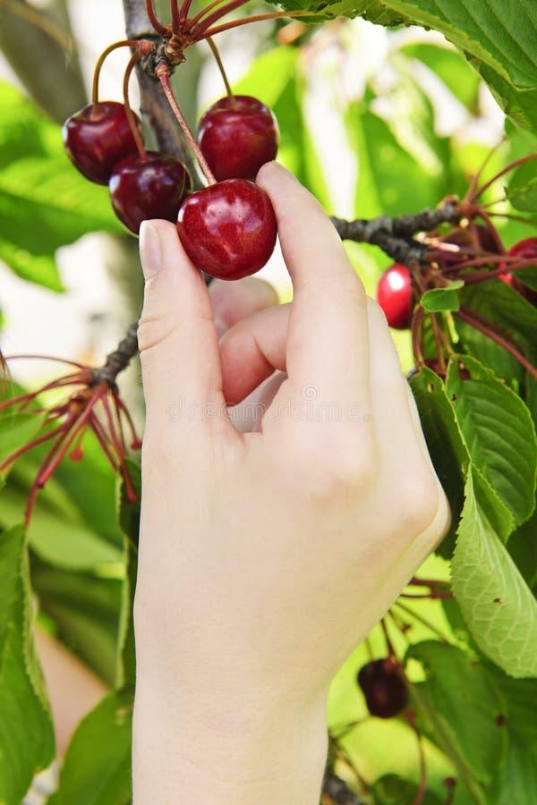 Hand picking cherries. Hand picking fresh cherries from cherry tree stock image