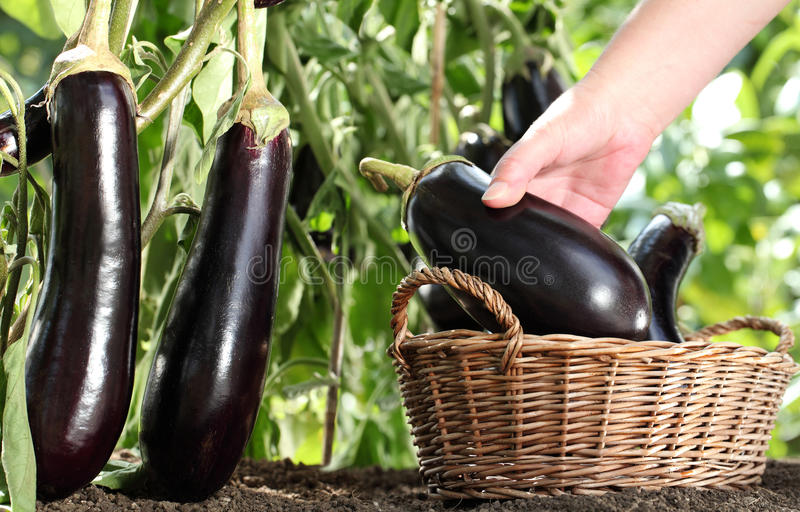 Hand picking eggplant from the plant in vegetable garden. With wicker basket close up royalty free stock image