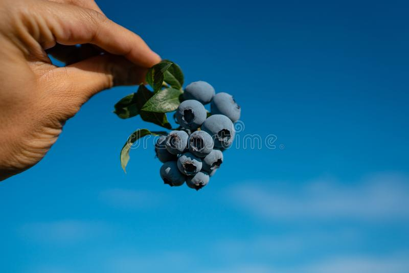 Hand is picking fresh blueberries against blue sky stock images