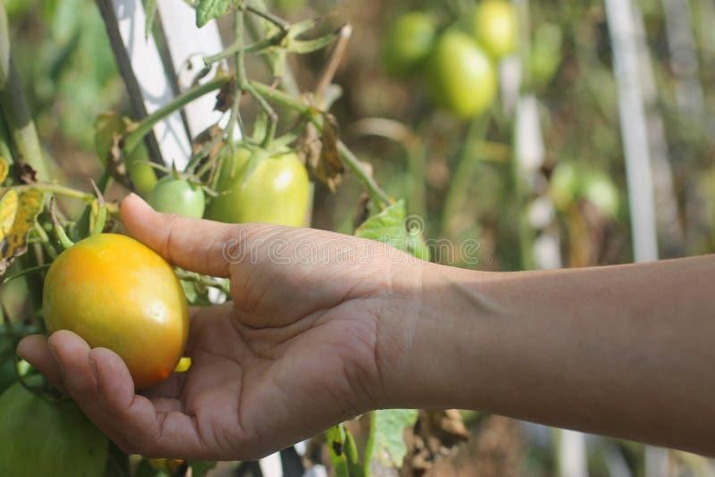Hand picking fresh tomato on tree in garden. stock photo